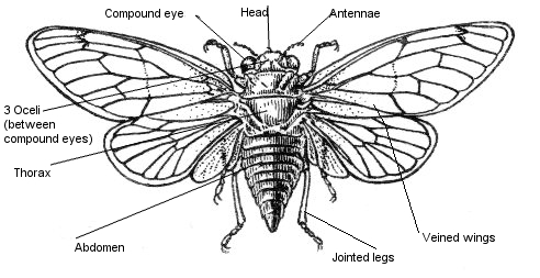 Here Is A Cicada With Four Veined Wings Cicadas Have Compound Eyes Which Are Lots Of Tiny Shapes It Does Go Through Metamorphosis